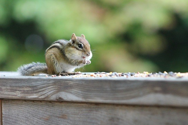 chipmunk eating bird seed