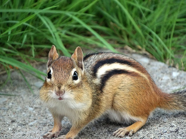 Chipmunks like this one are cute but how to stop chipmunks digging holes in your yard? We have ideas here.