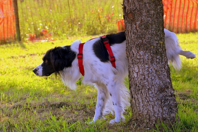 dog on a lease peeing on a tree