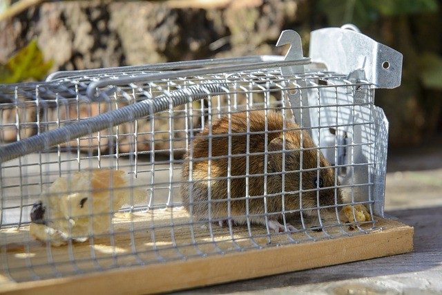 field mouse caught in humane mouse trap